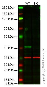 Western blot - Anti-PTEN antibody [EPR9941-2] - BSA and Azide free (ab271924)