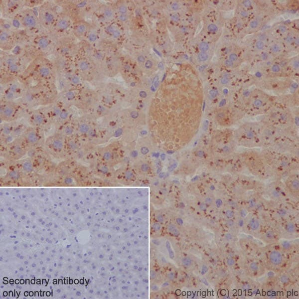 Immunohistochemistry (Formalin/PFA-fixed paraffin-embedded sections) - Anti-Apolipoprotein E antibody [EPR19392] - BSA and Azide free (ab271944)