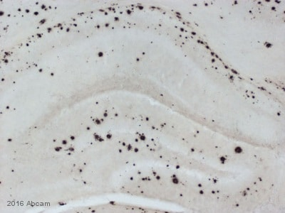 Immunohistochemistry - Free Floating - Anti-beta Amyloid 1-42 antibody [mOC64] - BSA and Azide free (ab271968)