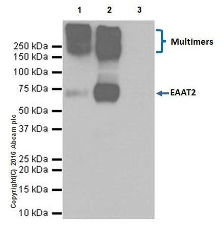 Immunoprecipitation - Anti-EAAT2 antibody [EPR19798] - BSA and Azide free (ab271970)