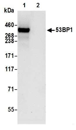 Immunoprecipitation - Anti-53BP1 antibody [BL-250-1H11] - BSA free (ab272067)