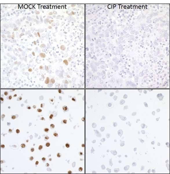 Immunohistochemistry (Formalin/PFA-fixed paraffin-embedded sections) - Anti-KAP1 (phospho S824) antibody [BL-246-7B5] - BSA free (ab272068)