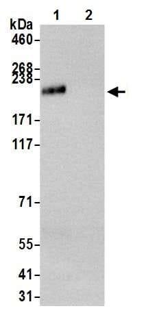 Immunoprecipitation - Anti-Baf180 antibody [BL-39-2C3] - BSA free (ab272073)