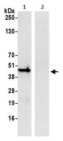 Immunoprecipitation - Anti-IRF1 antibody [BLR039F] - BSA free (ab272088)