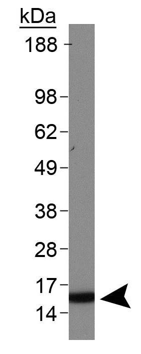 Western blot - Anti-Histone H3 antibody (ab272142)