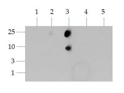 Dot Blot - Anti-Histone H3 antibody (ab272142)