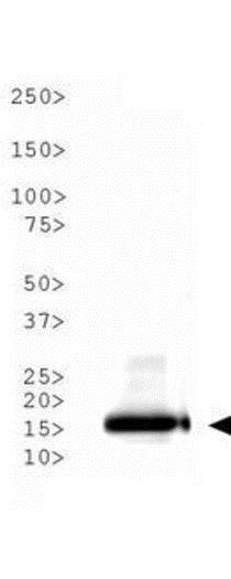 Western blot - Anti-Histone H3 (acetyl K9) antibody (ab272150)