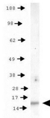 Western blot - Anti-Histone H3 (phospho T11) antibody (ab272152)