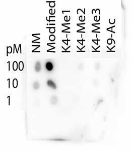 Dot Blot - Anti-Histone H3 (tri methyl K4, acetyl K9) antibody (ab272164)