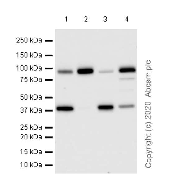 Western blot - Anti-UBE3A antibody [EPR23077-14] (ab272168)