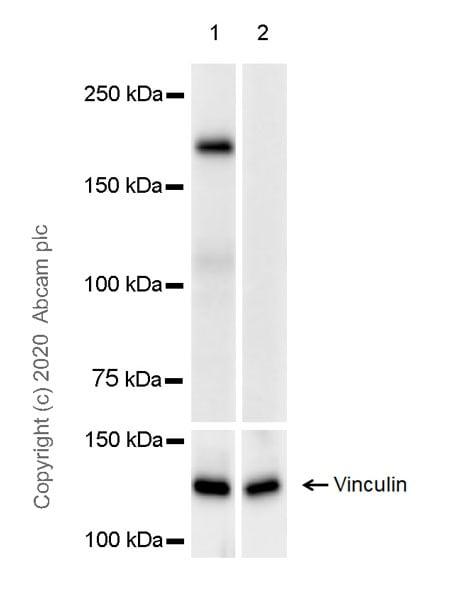Western blot - Anti-DEPDC5 antibody [EPR20497-23] - BSA and Azide free (ab272399)