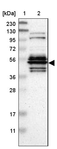 Western blot - Anti-WDR13 antibody (ab272543)