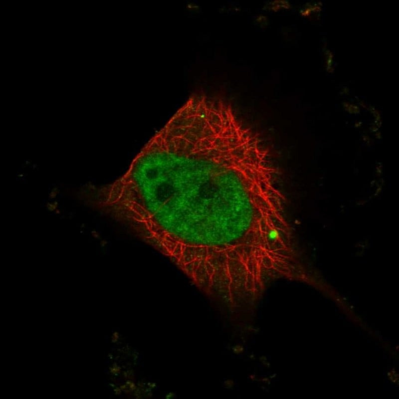 Immunocytochemistry/ Immunofluorescence - Anti-WW domain binding protein 4 antibody (ab272629)