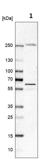 Western blot - Anti-DEGA antibody (ab272658)