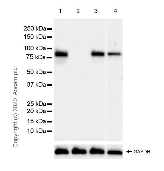 Western blot - Anti-HNF1 alpha antibody [EPR23054-108] (ab272693)