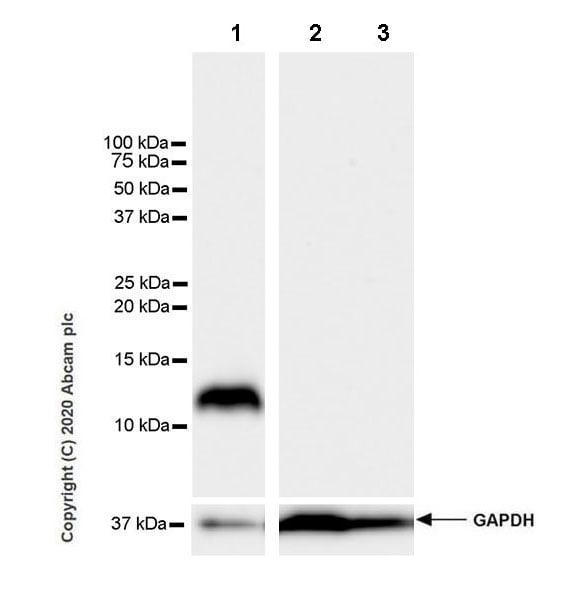 Western blot - Anti-Resistin antibody [EPR23388-272] (ab272730)