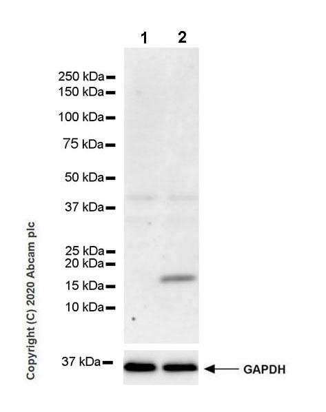 Western blot - Anti-IL36 gamma/IL-1F9 antibody [EPR23333-107] (ab272731)