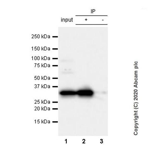 Immunoprecipitation - Anti-Syntaxin 1a antibody [EPR23457-15] (ab272736)