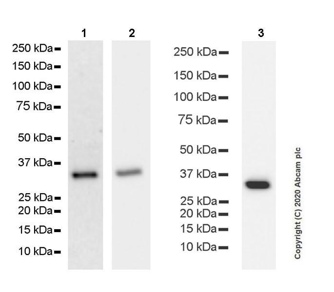 Western blot - Anti-Syntaxin 1a antibody [EPR23457-15] (ab272736)