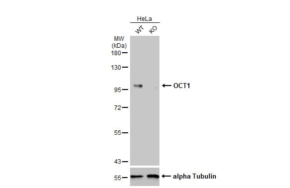 Western blot - Anti-Oct-1 antibody (ab272867)