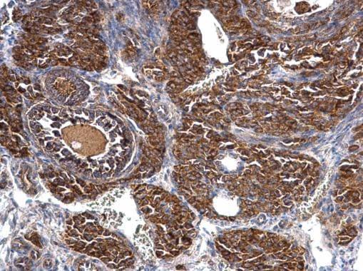 Immunohistochemistry (Formalin/PFA-fixed paraffin-embedded sections) - Anti-FLAP antibody (ab272870)