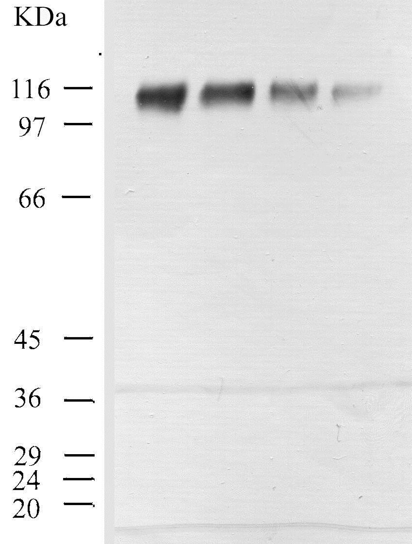 Western blot - Anti-CD26 antibody (ab28340)