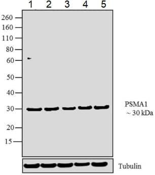 Western blot - Anti-Proteasome 20S C2/HC2 antibody (ab3325)