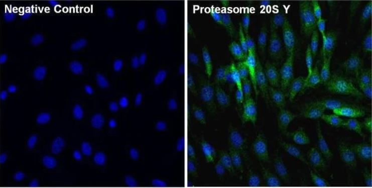 Immunocytochemistry/ Immunofluorescence - Anti-Proteasome 20S beta 6 antibody (ab3331)