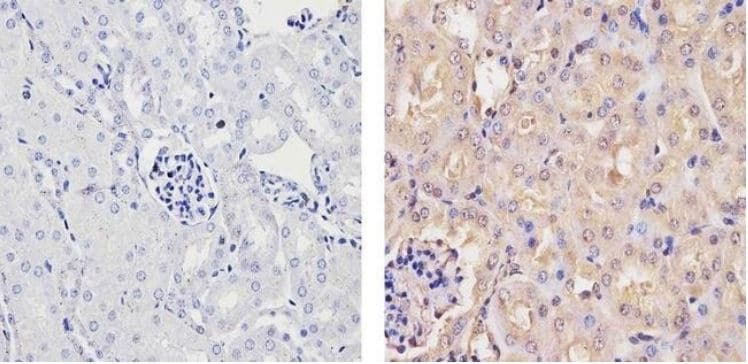 Immunohistochemistry (Formalin/PFA-fixed paraffin-embedded sections) - Anti-Ubiquilin/UBQLN1 antibody (ab3341)