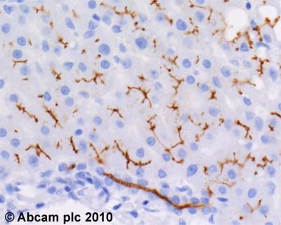 Immunohistochemistry (Formalin/PFA-fixed paraffin-embedded sections) - Anti-P Glycoprotein antibody [JSB-1] (ab3366)
