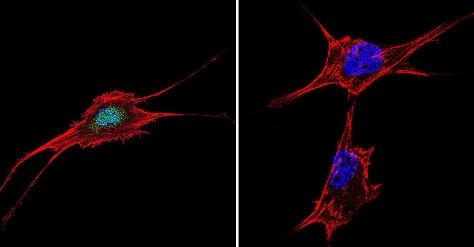 Immunocytochemistry/ Immunofluorescence - Anti-NFAT5 antibody (ab3446)