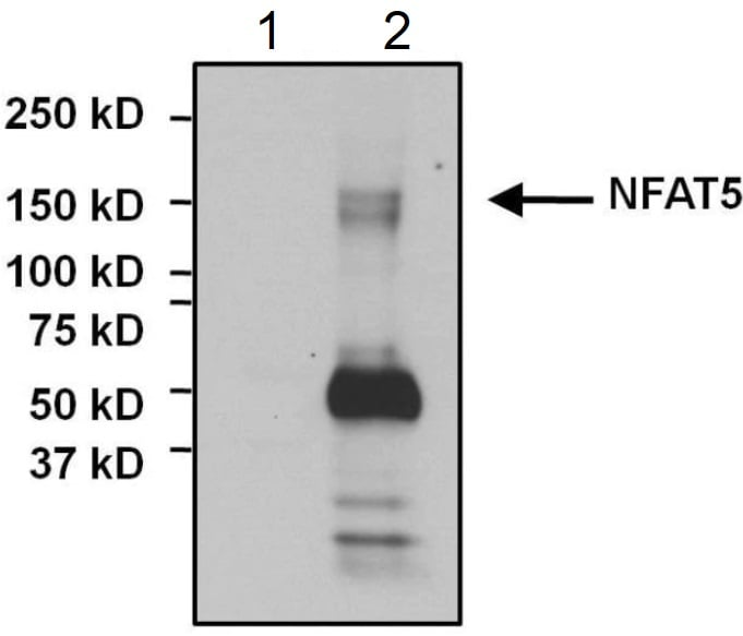 Immunoprecipitation - Anti-NFAT5 antibody (ab3446)