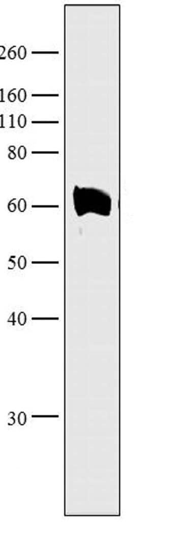 Western blot - Anti-Munc18-1 antibody (ab3451)