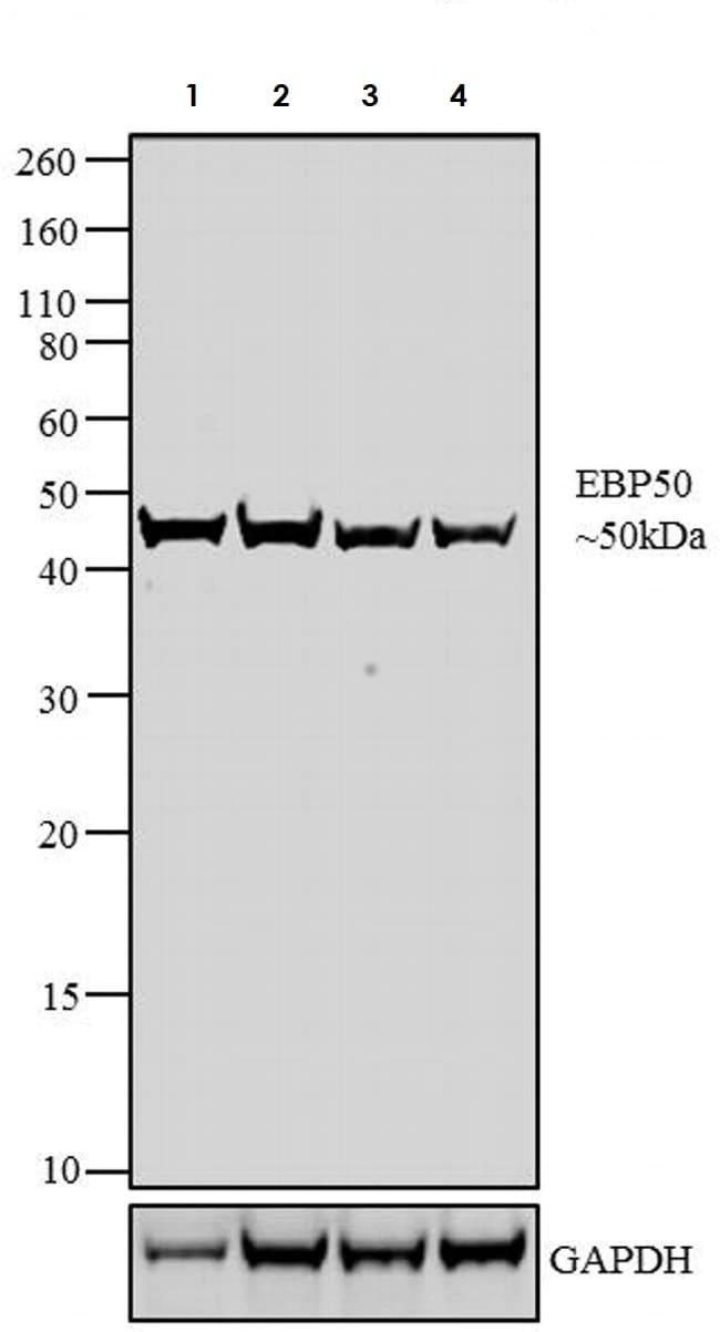 Western blot - Anti-EBP50/NHERF-1 antibody (ab3452)