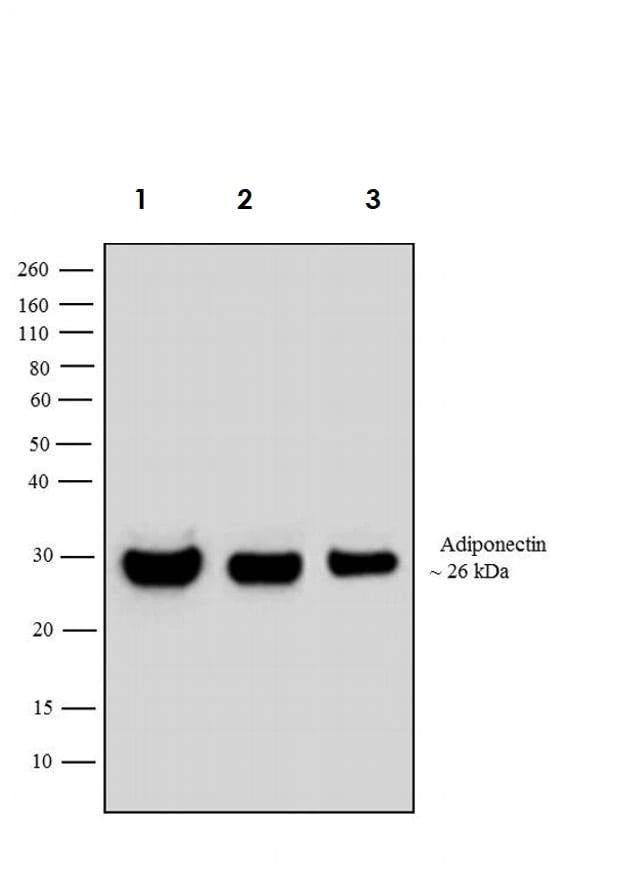 Western blot - Anti-Adiponectin antibody (ab3455)