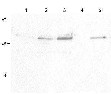 Western blot - Anti-Cyclin B1 (phospho S126) antibody (ab3488)