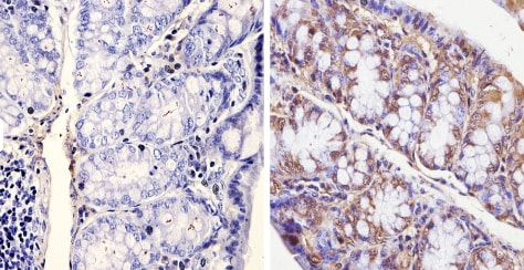 Immunohistochemistry (Formalin/PFA-fixed paraffin-embedded sections) - Anti-KAT13D / CLOCK antibody (ab3517)