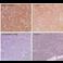 Immunohistochemistry - Anti-Calcium Pump PMCA3 ATPase antibody (ab3530)