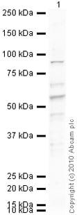 Western blot - Anti-PC1/3 antibody (ab3532)
