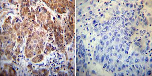 Immunohistochemistry (Formalin/PFA-fixed paraffin-embedded sections) - Anti-Cyclophilin 40 antibody (ab3562)