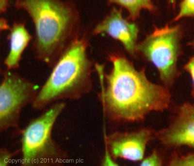 Immunocytochemistry/ Immunofluorescence - Anti-Cyclophilin A antibody (ab3563)