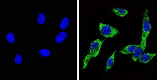Immunocytochemistry/ Immunofluorescence - Anti-CYP2C11 antibody (ab3571)
