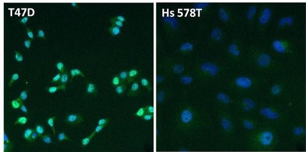 Immunocytochemistry - Anti-Estrogen Receptor alpha antibody (ab3575)
