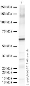 Western blot - Anti-Calcineurin A antibody (ab3673)