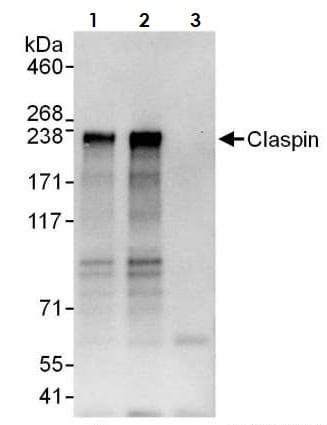 Immunoprecipitation - Anti-Claspin antibody (ab3721)