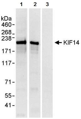 Immunoprecipitation - Anti-KIF14 antibody (ab3747)