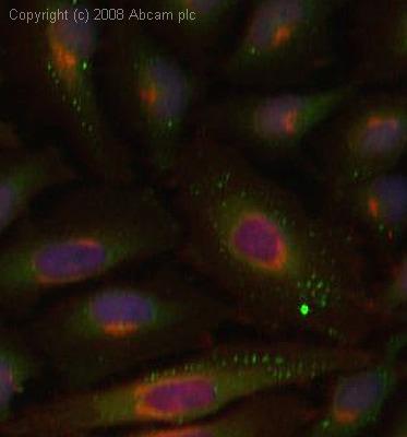 Immunocytochemistry/ Immunofluorescence - Anti-HspBP1 antibody (ab3858)