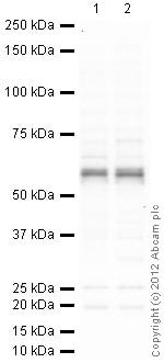 Western blot - Anti-Lck antibody (ab3885)