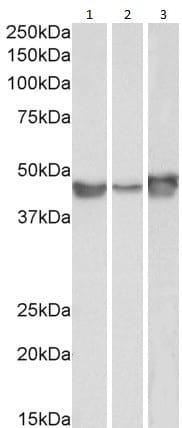 Western blot - Anti-PAI1 antibody (ab31280)