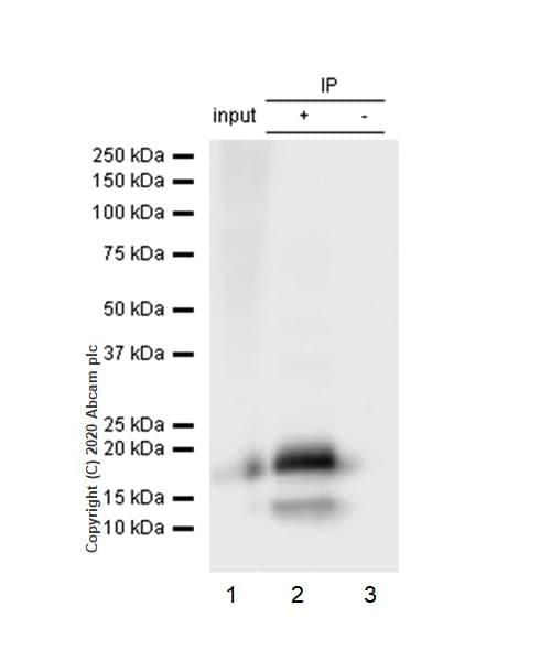 Immunoprecipitation - Anti-eIF4EBP1 antibody [Y329] (ab32024)